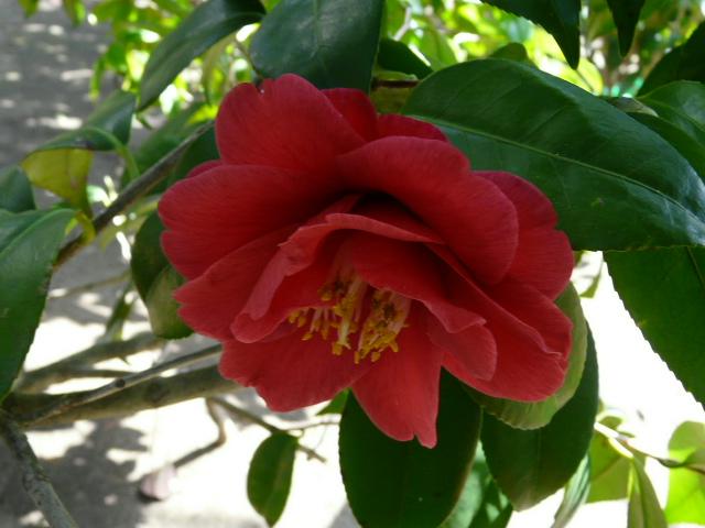 氷室椿庭園の椿・その1_e0145782_1919348.jpg