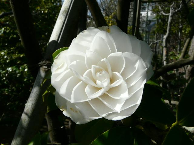 氷室椿庭園の椿・その1_e0145782_19204641.jpg