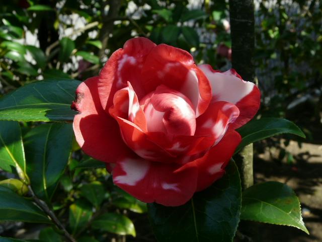 氷室椿庭園の椿・その1_e0145782_19244337.jpg