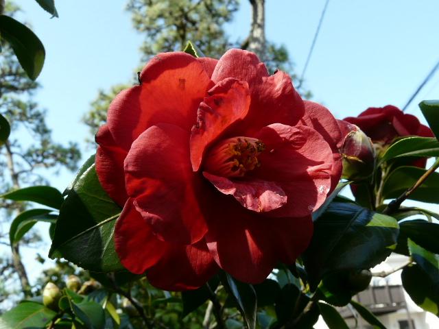 氷室椿庭園の椿・その1_e0145782_19262738.jpg