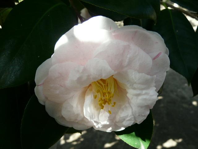 氷室椿庭園の椿・その1_e0145782_1926711.jpg