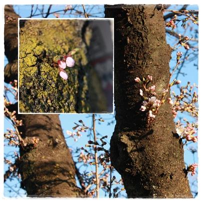 1番桜_c0141025_216337.jpg