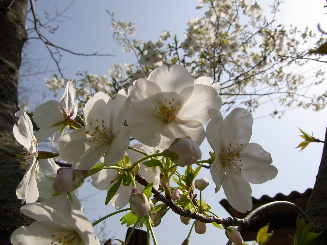 桜_f0218831_12452092.jpg