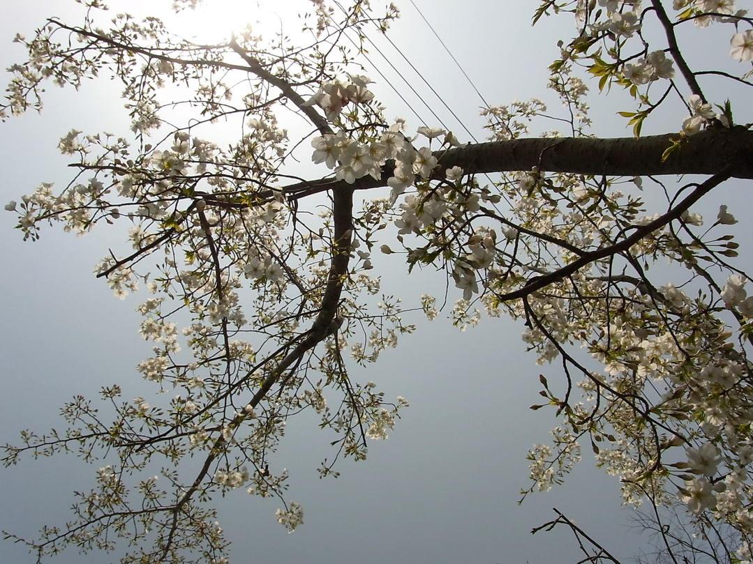 桜_f0218831_12453762.jpg