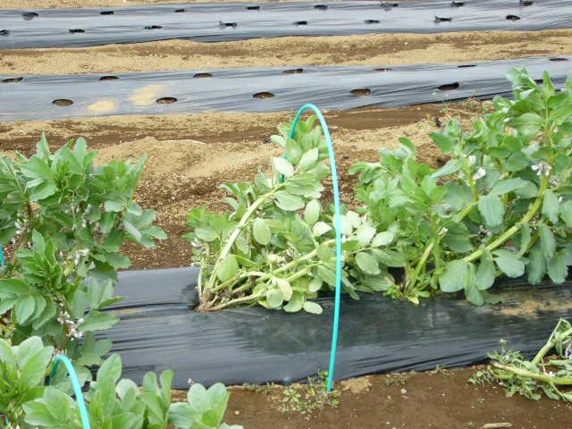 ジャガイモの発芽  丁度1ヶ月掛かりました そして今朝はひたすら 耕しました_c0222448_15564197.jpg