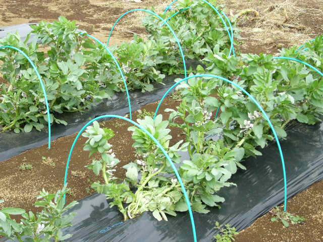 ジャガイモの発芽  丁度1ヶ月掛かりました そして今朝はひたすら 耕しました_c0222448_15565772.jpg