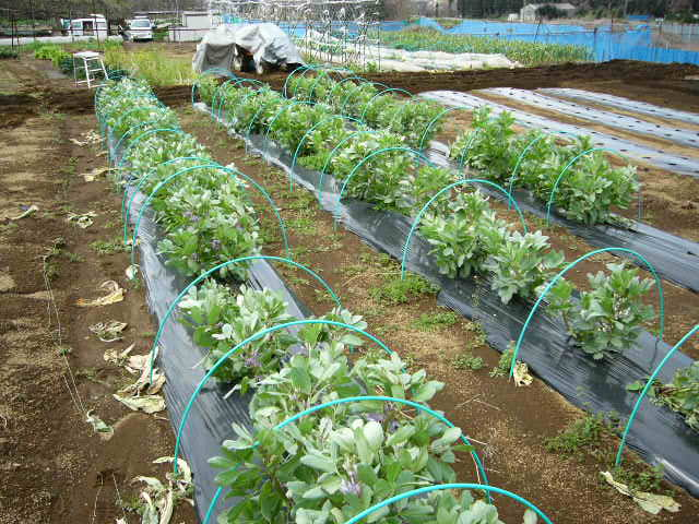 ジャガイモの発芽  丁度1ヶ月掛かりました そして今朝はひたすら 耕しました_c0222448_15583182.jpg