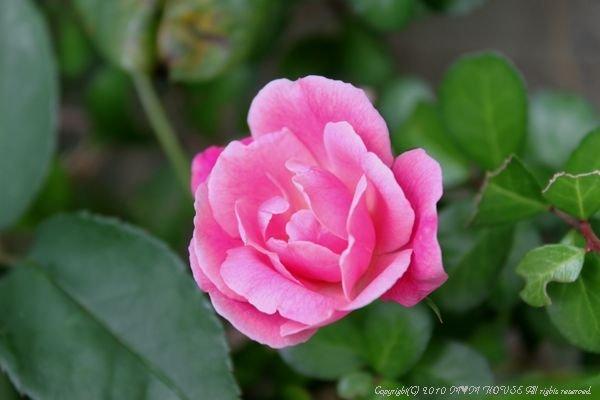 もずくのヒラヤチー  ☆雑草状態で春爛漫・・・(^m^)ゞ ♪_c0139375_15495985.jpg