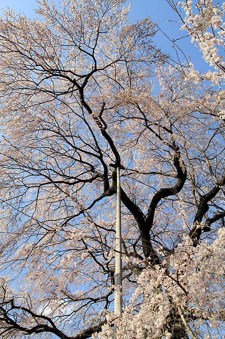 龍祥寺のしだれ桜_b0186680_1355047.jpg