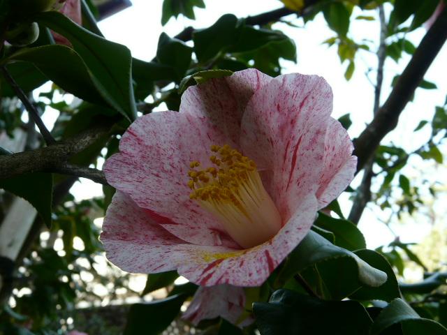氷室椿庭園の椿 その2_e0145782_17591584.jpg