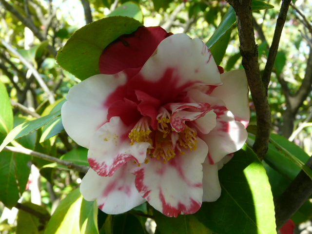氷室椿庭園の椿 その2_e0145782_17594191.jpg