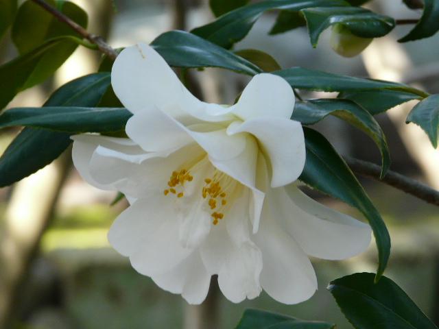 氷室椿庭園の椿 その2_e0145782_184268.jpg