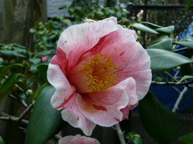 氷室椿庭園の椿 その2_e0145782_1862111.jpg