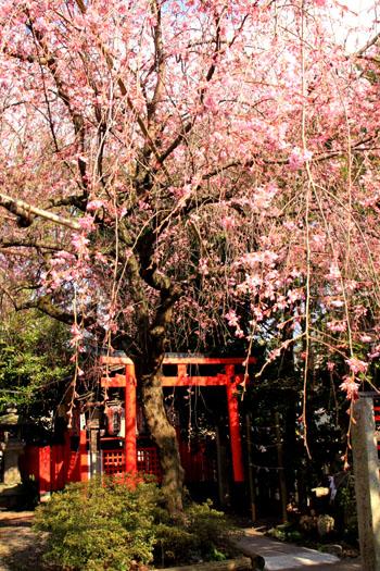 水火天満宮 しだれ桜_e0048413_21463475.jpg