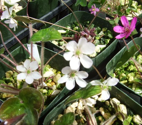 かたくりの花満開.....城山のかたくりの里_b0137932_1962795.jpg