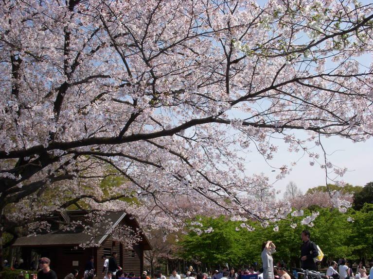 歓喜と悲哀の桜の夜明け_e0173239_5231695.jpg