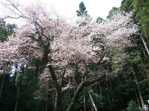 春、爛漫です^^  ゲンカイツツジと虎尾桜_e0164643_22125990.jpg