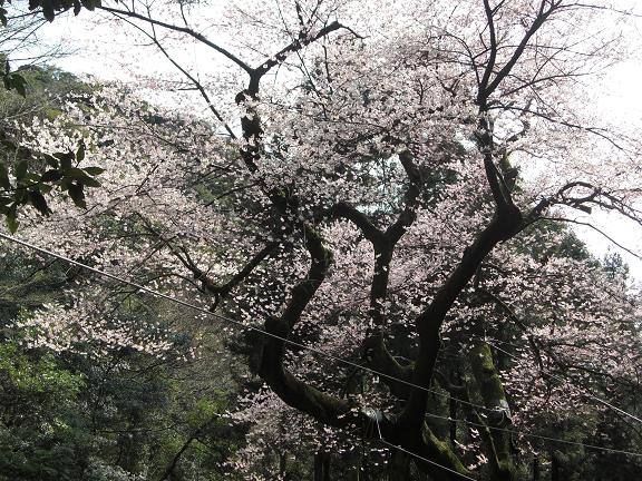春、爛漫です^^  ゲンカイツツジと虎尾桜_e0164643_2213326.jpg
