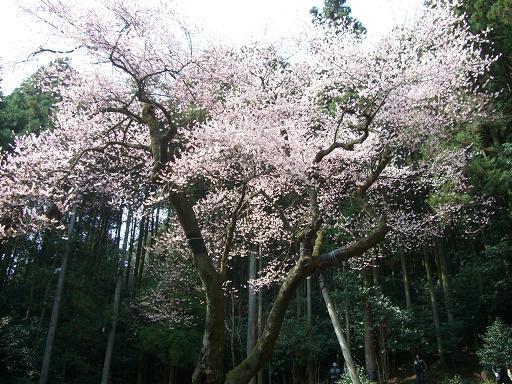 春、爛漫です^^  ゲンカイツツジと虎尾桜_e0164643_22135997.jpg