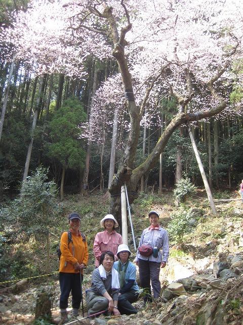 春、爛漫です^^  ゲンカイツツジと虎尾桜_e0164643_22143857.jpg