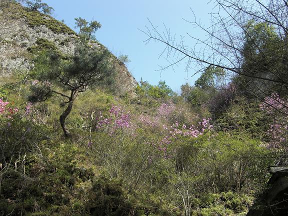 春、爛漫です^^  ゲンカイツツジと虎尾桜_e0164643_23521081.jpg