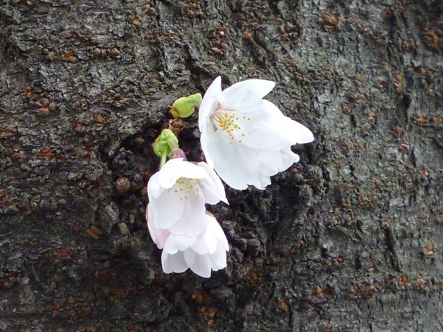 来た~~!!!桜…_b0093660_1724042.jpg