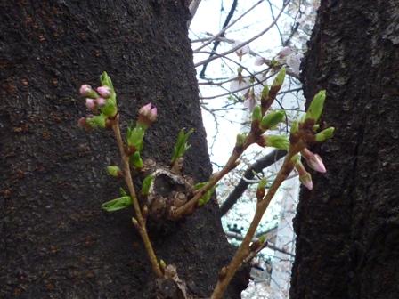 来た~~!!!桜…_b0093660_1732784.jpg
