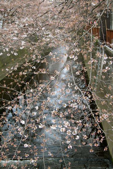 きょうの目黒川桜情報_f0160063_22412447.jpg