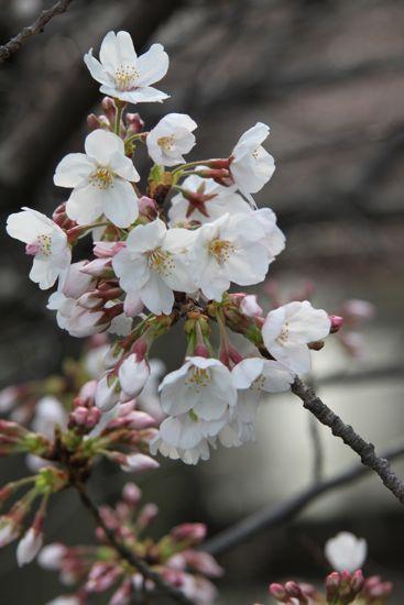 きょうの目黒川桜情報_f0160063_2241853.jpg