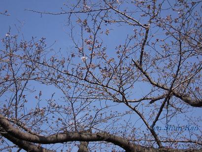 加茂川の桜_a0164068_2229586.jpg