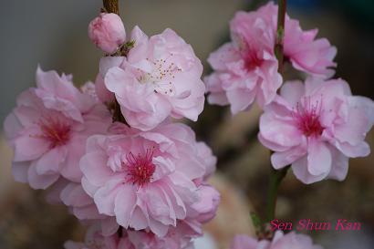 加茂川の桜_a0164068_2234395.jpg