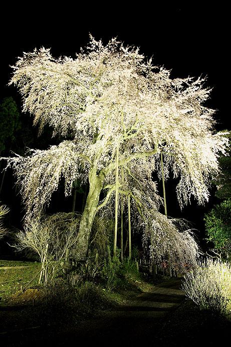 夜桜_b0186680_114949.jpg
