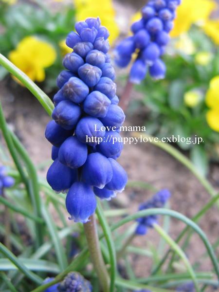 桃の花とムスカリとマーガレット達!!_b0136683_1134276.jpg