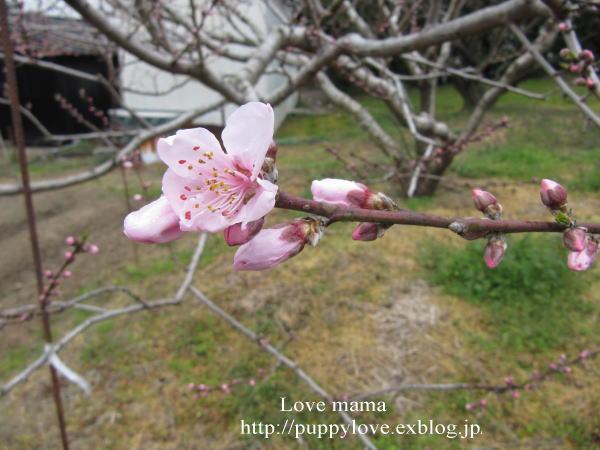 桃の花とムスカリとマーガレット達!!_b0136683_130284.jpg