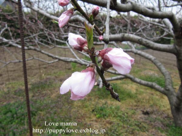 桃の花とムスカリとマーガレット達!!_b0136683_1305044.jpg