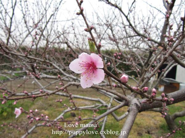 桃の花とムスカリとマーガレット達!!_b0136683_1311017.jpg