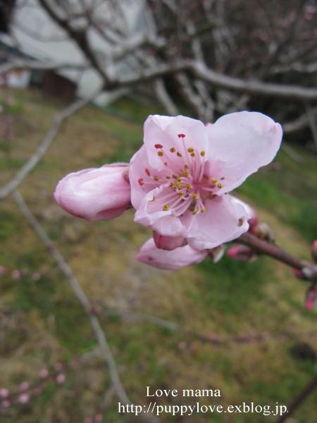 桃の花とムスカリとマーガレット達!!_b0136683_1311953.jpg