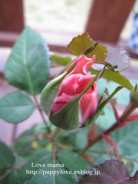 桃の花とムスカリとマーガレット達!!_b0136683_1382756.jpg