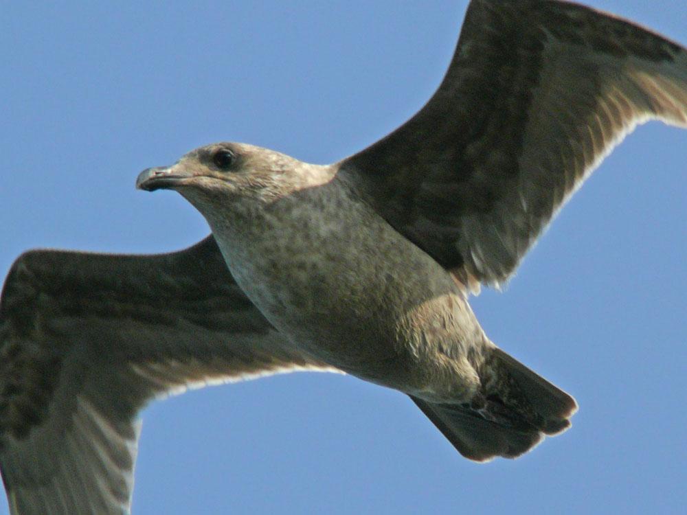 大型のカモメ の若鳥_e0088233_2259587.jpg