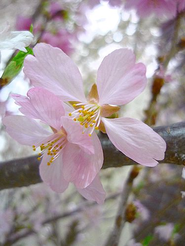 優しい日曜日。。。daikanyamamariaの桜のお紅茶。♪。。。* *。:☆.。†_a0053662_13465488.jpg