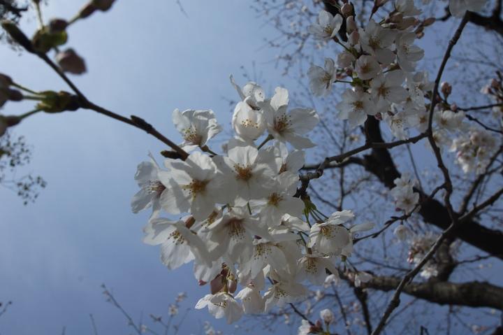 Sakura * Bird * Walking_f0189086_20365043.jpg