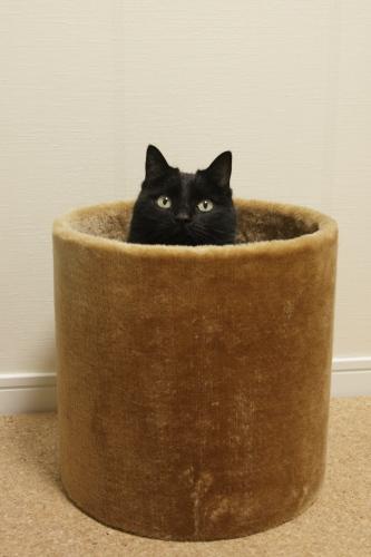 立てた猫タワートンネルから顔を出す小娘