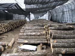 嬬恋村の原木しいたけ_f0146620_2249346.jpg