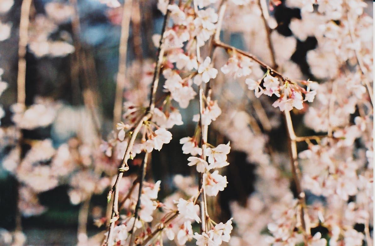 大紀町の枝垂れ桜_e0156251_23435959.jpg