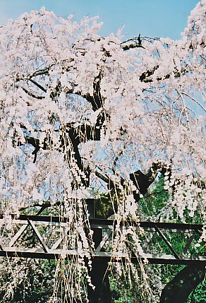大紀町の枝垂れ桜_e0156251_23443486.jpg