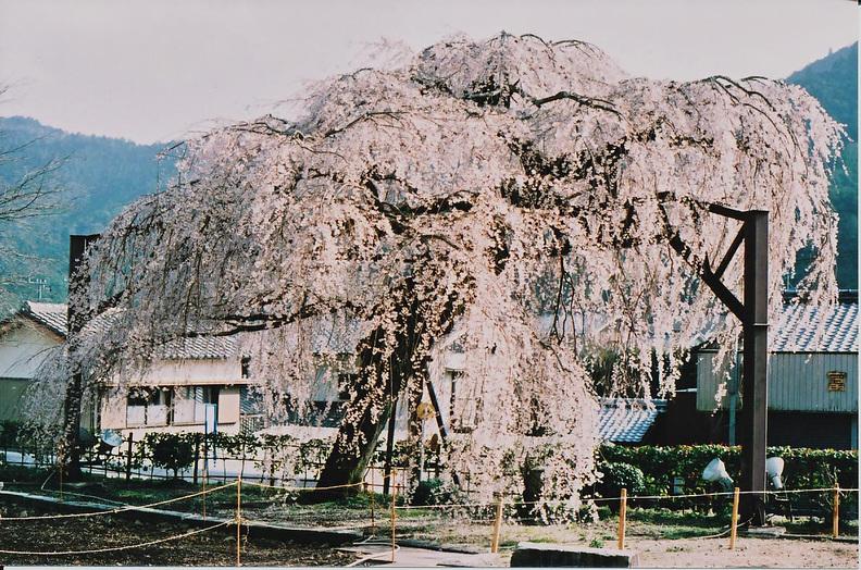 大紀町の枝垂れ桜_e0156251_23451219.jpg