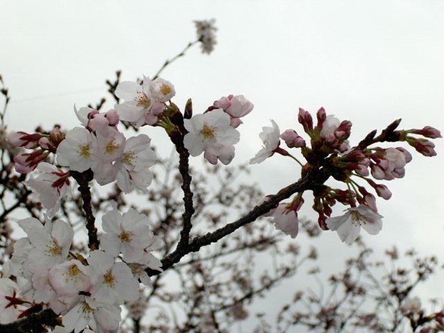 ●もう桜も満開かな・・・_e0070880_1373940.jpg