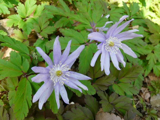 神代植物公園の春の草花_e0145782_9533618.jpg