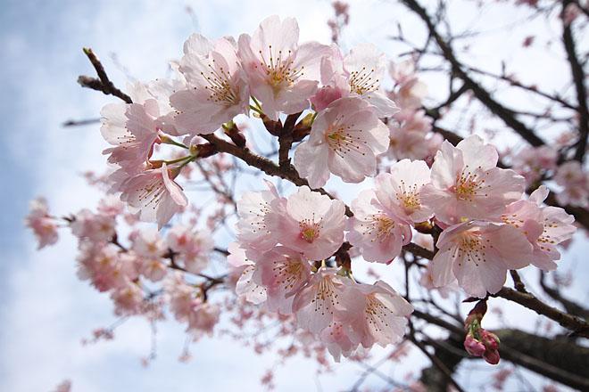 桜、開幕!_c0067040_223025.jpg