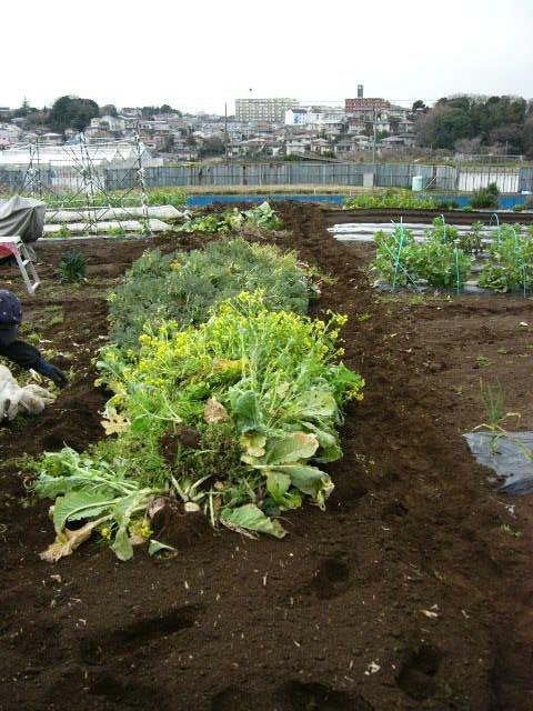 抜いた収穫時期を過ぎたキャベツ&レタス、菜の花・・メキャベツ、ブロッコリーを抜き トラクターで粉砕_c0222448_14524390.jpg